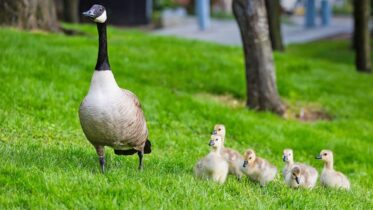 All You Need To Know About Reasons For Fall Goose Control