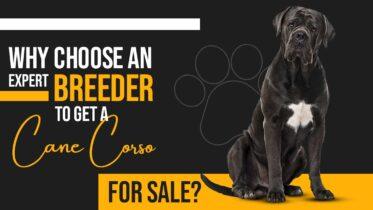 cane corso for sale